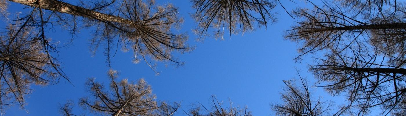 havupuut kuvattuna alakautta sinistä taivasta vasten.
