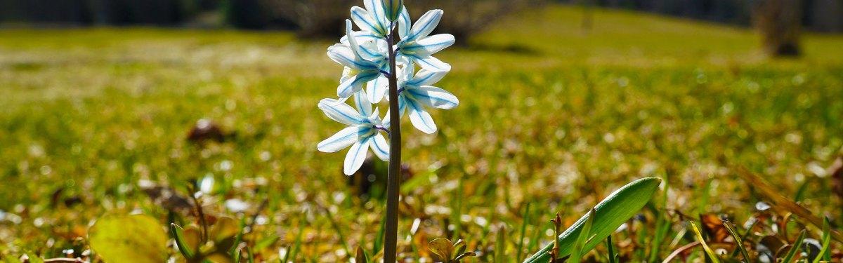 vaaleansininen kukka vihreällä nurmella.